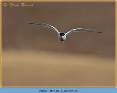 arctic-tern-59.jpg
