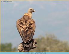 griffon-vulture-67.jpg