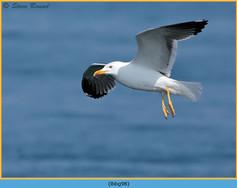lesser-black-backed-gull- 98.jpg