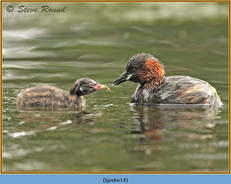 little-grebe-14.jpg