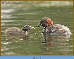 little-grebe-14.jpg