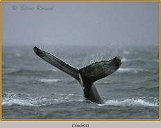 humpback-whale-02.jpg