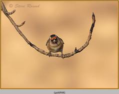 goldfinch-48.jpg
