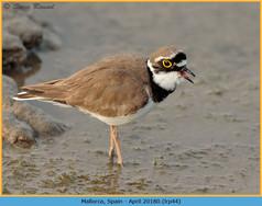 little-ringed-plover-44.jpg