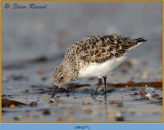 sanderling-77.jpg
