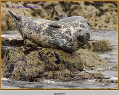 grey-seal-07.jpg