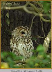 tawny-owl-30.jpg