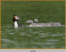 great-crested-grebe-28.jpg