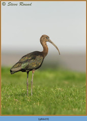 glossy-ibis-19.jpg