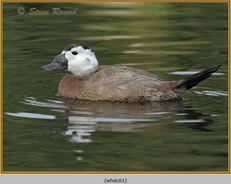 whited-headed-duck-01c.jpg