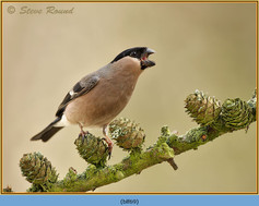 bullfinch-69.jpg