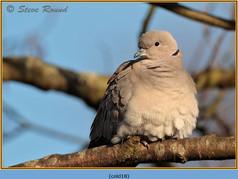 collared-dove-18.jpg