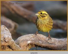 yellowhammer-26.jpg