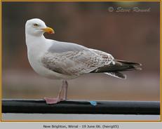 herring-gull-05.jpg