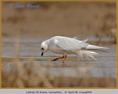 ross's-gull-09.jpg