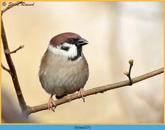 tree-sparrow-57.jpg