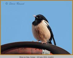 rose-coloured-starling-01.jpg