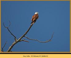 brahminy-kite-11.jpg