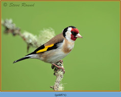 goldfinch-71.jpg