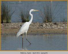 great-white-egret-29.jpg