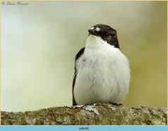 pied-flycatcher-58.jpg