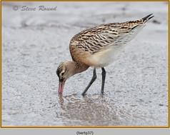 bar-tailed-godwit-37.jpg