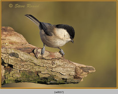 willow-tit-07.jpg