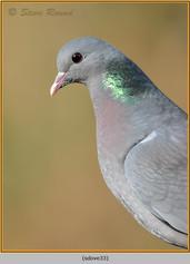 stock-dove-33.jpg