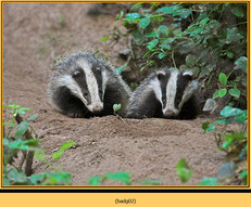 badger-02.jpg