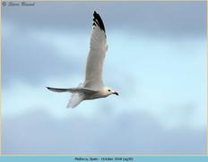 audouin's-gull-30.jpg