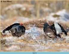 black-grouse-131.jpg