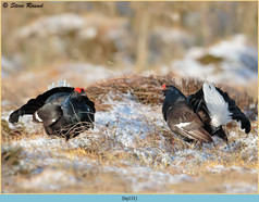 black-grouse-131.jpg