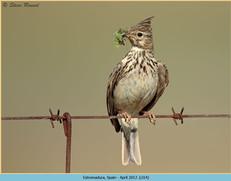 crested-lark-14.jpg