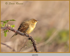 grasshopper-warbler-50.jpg