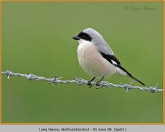 lesser-grey-shrike-01.jpg