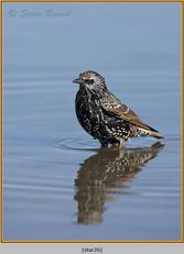 starling-26.jpg