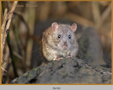 brown-rat-16.jpg