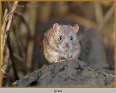 brown-rat-16.jpg