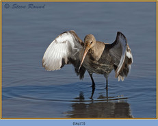 black-tailed-godwit- 73.jpg