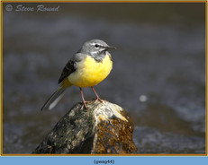 grey-wagtail-44.jpg