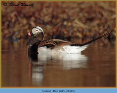 long-tailed-duck-45.jpg