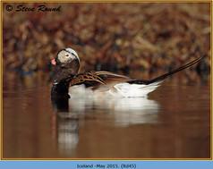 long-tailed-duck-45.jpg