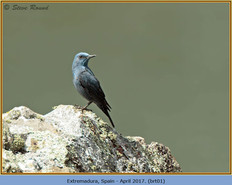 blue-rock-thrush-01.jpg