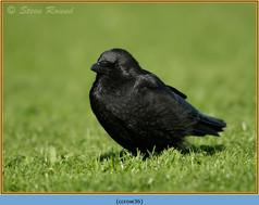 carrion-crow-36.jpg