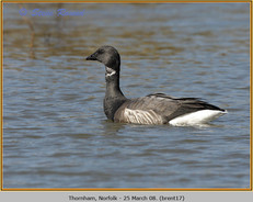 brent-goose-17.jpg