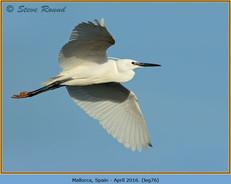little-egret-76.jpg