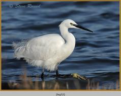 little-egret-52.jpg