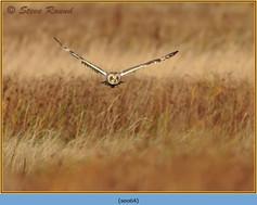short-eared-owl-64.jpg
