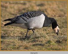 barnacle-goose-10.jpg
