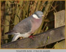 wood-pigeon-08.jpg